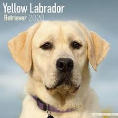 Yellow Labrador 2020 Calendar